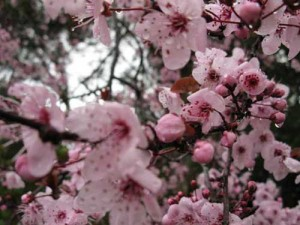 Cherry Blossoms in Spring - Copyright © Business-In-Site