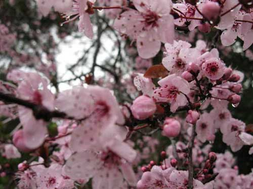 Cherry Blossoms - Copyright © Business-In-Site (IMG 021)