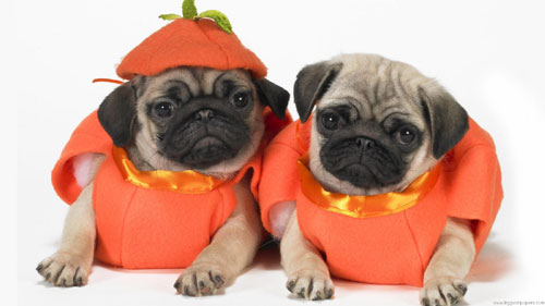 Halloween Wallpapers - Scary Halloween Pugs